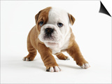 Bulldog Puppy Prints by Peter M. Fisher
