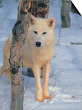 Gray Wolf, Canis Lupus Prints by Lynn M. Stone