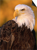Bald Eagle Posters by W. Perry Conway