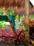Two Blue and Gold Macaws Perched Under Thatched Roof Stampe di Lisa S. Engelbrecht