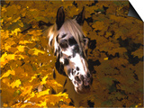 Appaloosa Portrait in Maple Leaves, Illinois Posters by Lynn M. Stone