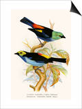 Superb Tanager, Paradise Tanager Posters by F.w. Frohawk