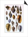Shells: Trachelipoda Prints by G.b. Sowerby