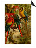 Macaws Posters by F.W. Kuhnert