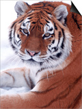 Siberian Tiger, Panthera Tigris Altaica Posters by Lynn M. Stone