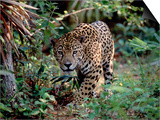 Jaguar Walking Through the Forest, Belize Prints by Lynn M. Stone