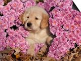 Golden Retriever Puppy in Chrysanthemums Prints by Lynn M. Stone