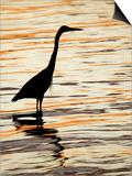 Silhouette of Great Blue Heron in Water at Sunset, Sanibel Fishing Pier, Sanibel, Florida, USA Prints by Arthur Morris.