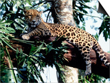 Jaguar Lying on a Tree Limb, Belize Prints by Lynn M. Stone