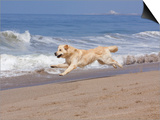 White Golden Retriever Running Along Pacific Beach Poster by Lynn M. Stone