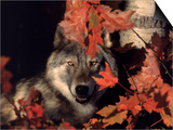 Gray Wolf Peeks Through Leaves, Canis Lupus Posters by Lynn M. Stone