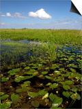 Water Lilies and Sawgrass in the Florida Everglades, Florida, USA Prints by David R. Frazier