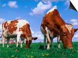 Two Cows Grazing in a Field Prints by Lynn M. Stone