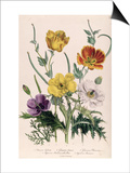"Poppies and Anemones, Plate 5 from ""The Ladies"" Flower Garden"", Published 1842 Prints by Jane W. Loudon"