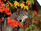 Gray Wolf Peeking Through Leaves Print by Lynn M. Stone