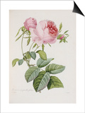 Rose, Engraved by Eustache Hyacinthe Langlois Art by Pierre-Joseph Redouté