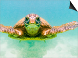 Green Sea Turtle Posters by Mark A. Johnson