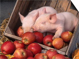 Mixed Breed Piglets in Apple Cart Posters by Lynn M. Stone