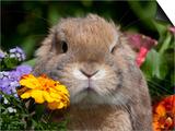 Tan Lop Rabbit Portrait Prints by Lynn M. Stone
