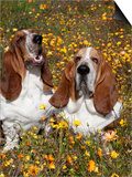 Basset Hounds in Wildflowers Print by Lynn M. Stone