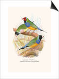 Gouldian Finch, Black Headed and Red Headed Posters by F.w. Frohawk