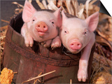 Mixed-Breed Piglets in a Barrel Prints by Lynn M. Stone