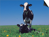 Holstein Cow and Calf, IL Posters by Lynn M. Stone