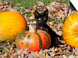 Black Kitten on Pumpkin Posters by Lynn M. Stone