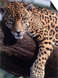 Jaguar Lying on a Tree Limb, Belize Poster by Lynn M. Stone