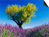 Tree in Lavender Field Posters by Bryan F. Peterson