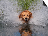 Golden Retriever Water Entry Prints by Lynn M. Stone