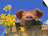 Pig with Daffodils in Bushel Posters by Lynn M. Stone
