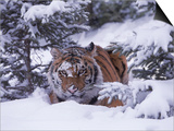 Siberian Tiger, Panthera Tigris Altaica Print by Lynn M. Stone