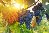 Bunch of Black Grapes on the Vine Photographic Print by  egal