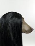 Weimaraner (Canis Lupis Familiaris) with Wig. Fotoprint van Catherine Ledner