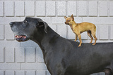 Chihuahua on Great Dane's Back Reprodukcja zdjęcia autor Brand X Pictures