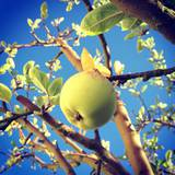 Green Apple Hanging from the Tree against Blue Sky Photographic Print by Jodie Griggs