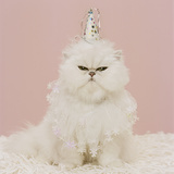 Persian Cat Wearing Party Hat and Ruffle Photographic Print by GK Hart/Vikki Hart