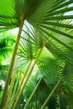 Jamaica, Palm Leaves Fotografisk tryk af Tetra Images