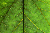 Veins of a Leaf Photographic Print by Mark Mawson