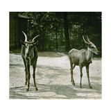 The Antelope in the Jardin Des Plantes, Paris (Vth Arrondissement), Circa 1890-1895 Photographic Print by Levy et Fils, Leon