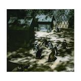 The Penguins of the Jardin D'Acclimatation, Paris 5XVIth Arrondissement), Circa 1890-1895 Photographic Print by Levy et Fils, Leon
