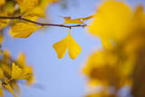 Gingko Tree in Autumn Photographic Print by  mizuki/a.collectionRF