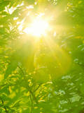 Sunburst through Spring Branches and Green Leaves Photographic Print by Kathy Collins