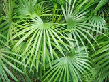 Close up of Tropical Plant (Rhapis Humilis) Photographic Print by Andy Sotiriou