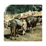 Tangier (Morocco), Camels at the Market (Soko), Circa 1885 Photographic Print by Levy et Fils, Leon
