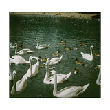 The Swans of the Jardin D'Acclimatation, Paris (XVIth Arrondissement), Circa 1890-1895 Photographic Print by Levy et Fils, Leon
