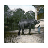 The Elephant in the Jardin Des Plantes, Paris, Circa 1895-1900 Photographic Print by Levy et Fils, Leon