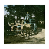 Buffaloes Pulling the Watering-Carriage of the Jardin D'Acclimatation, Paris Photographic Print by Levy et Fils, Leon