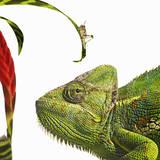 Chameleon Looking at Locust Fotografie-Druck von Gandee Vasan